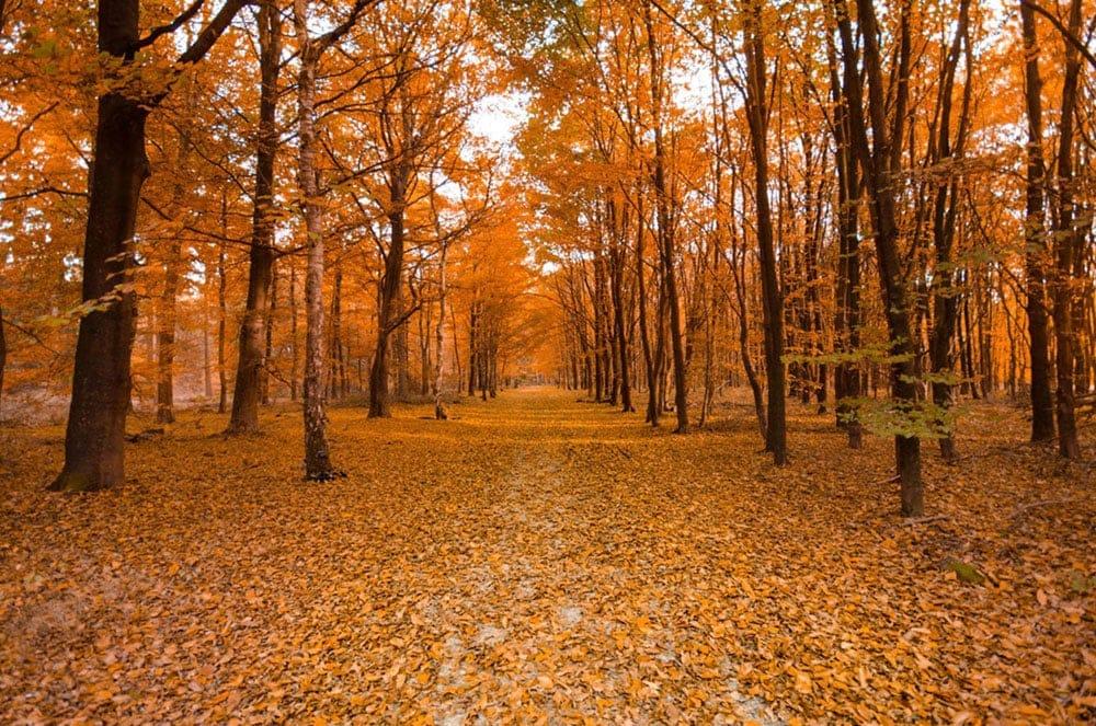 ein Weg fuehrt durch den Wald, es ist Herbst, die Baeume leuchten in den schoensten Farben